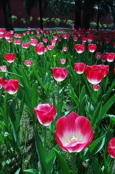 Free Tulip Stock Image - 3958881