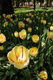 Free Tulip Stock Photo - 3958890