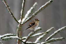 Goldfinch Stock Photo