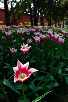 Free Tulip Stock Image - 3958921
