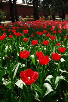 Free Tulip Stock Photo - 3958940