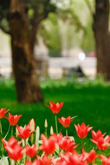 Free Tulip Stock Photography - 3958972