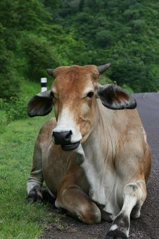 Free Resting Cattle Stock Photo - 3959040