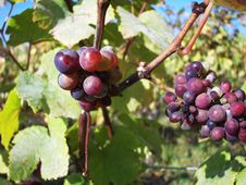 Free Grapes On A Vine Royalty Free Stock Image - 3959796