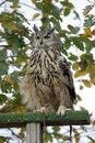 Free European Eagle Owl Royalty Free Stock Image - 3966256