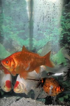 Free Goldfish Royalty Free Stock Image - 3960146