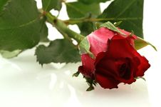Nice Red Rose With A Water Drops Royalty Free Stock Photography