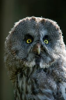 Free Great Grey Owl, Strix Nebulosa Stock Image - 3961601