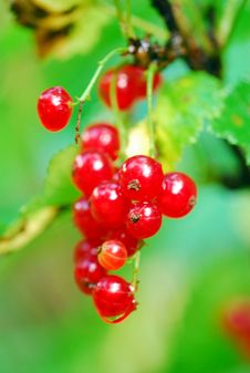 Free Red Currant Stock Image - 3962441