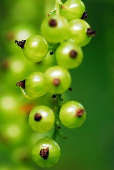 Unripe Red Currant Stock Images