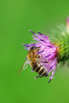 Free Thistle With Honeybee Royalty Free Stock Images - 3962489