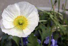 Free Poppy Blossom Stock Photo - 3962500