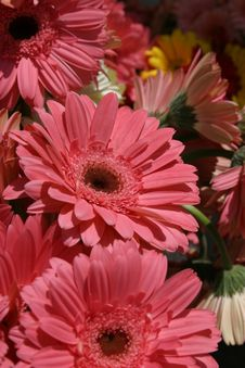 Free Gerbera Daisies Royalty Free Stock Photos - 3962588