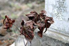 Free Dry Antheriums At A Cemetary Royalty Free Stock Photography - 3962657