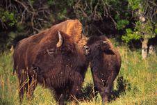 Free Buffalos Royalty Free Stock Image - 3962966