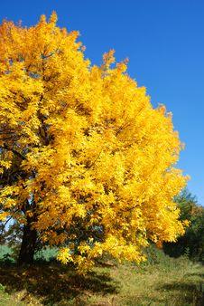 Free Autumn Maple Stock Photos - 3963923