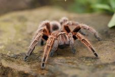 Free Hairy Spider Royalty Free Stock Photography - 3964307