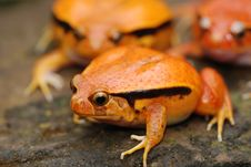Free 3 Fake Tomato Frog 2 Blurred Stock Images - 3964354