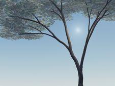 Free Umbrella Acacia Tree Royalty Free Stock Photography - 3964687