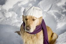 Free Golden Retriever With Shawl Royalty Free Stock Images - 3964949