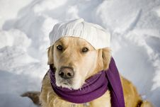 Free Golden Retriever With Shawl Stock Image - 3964971