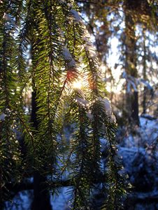 Free Pine Tree In The Winter Stock Photography - 3965062