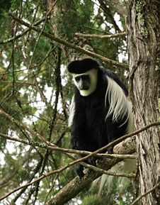 Lonely Colobus Monkey Stock Photography