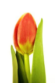 Free Tulip Stock Image - 3965581