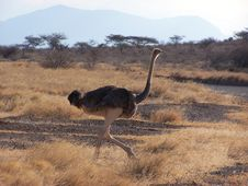 Ostrich, Masai Race Stock Photography