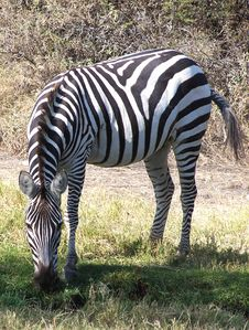 Free Zebra Stock Photo - 3967230