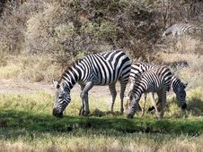 Free Zebra Stock Photos - 3967263