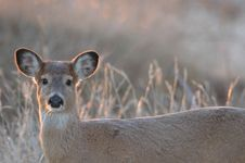 Free Missouri White-tailed Deer Stock Images - 3968834