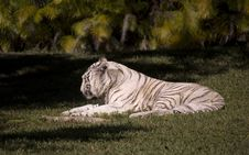 Free White Tiger Resting Royalty Free Stock Photo - 3968945