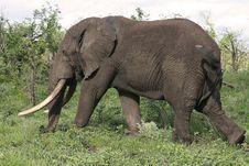 Free Big Elephant Bull Royalty Free Stock Image - 3969806