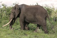 Free Big Elephant Bull Ii Royalty Free Stock Photos - 3969818