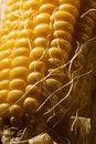 Free Corn Stock Photo - 3972070