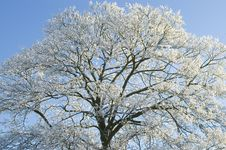 Free Trees Covered With Snow Royalty Free Stock Images - 3970159