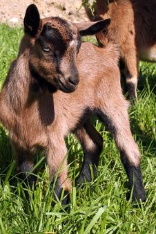 Free A Flock Of Goats And Sheep Royalty Free Stock Images - 3970949