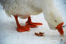 Free Eating Goose Stock Images - 3972044