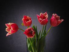 Free Tulips On The Dark Background. Royalty Free Stock Photo - 3972345