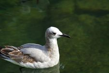 Free Seagull Floating On Water Stock Images - 3972414