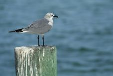 Free Seagull On A Post Royalty Free Stock Photography - 3972417