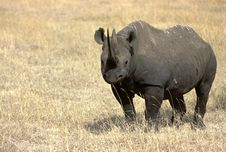 Free Rhinoceros Royalty Free Stock Images - 3974749