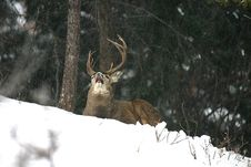 Free Buck Catching A Snowflake Stock Images - 3975174