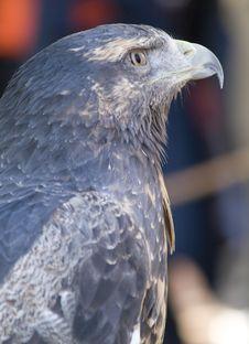 Free A Eagle Stock Photo - 3975250