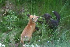 Free Two Red Fox Kits Playing In The Grass Stock Photos - 3975383