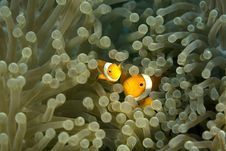 Free Clown Fish Stock Photos - 3976733
