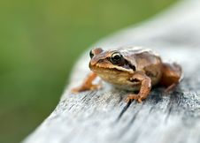 Free Frog Royalty Free Stock Photography - 3977297