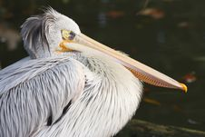 Free Pelican Royalty Free Stock Photography - 3977577
