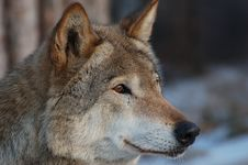 Free Wolf. Royalty Free Stock Photography - 3977667